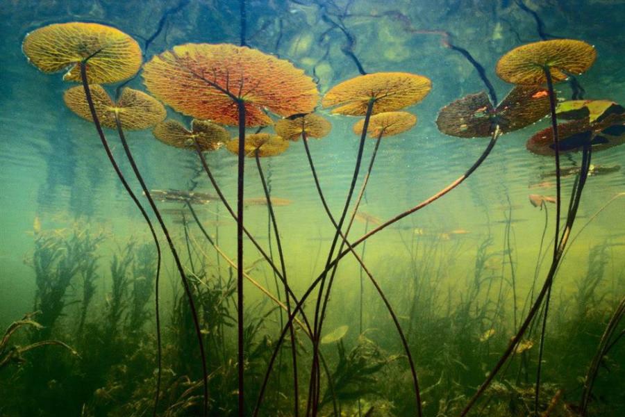lotus-onderwater